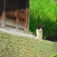 尾道花見&猫さんぽ