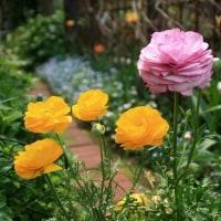 庭の花 ラナンキュラス