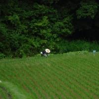 稲が育ってきました!順調です。