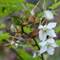 七重八重花は咲けども「山ぶき」の、咲きました。