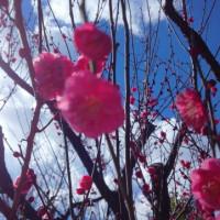 羽根木公園の梅♪