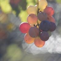 神無月十七日、葡萄― Bacchus
