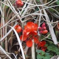 散歩道に咲いた草木瓜と木瓜