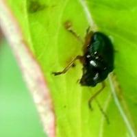 甲虫(正体不明)