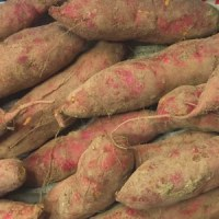 宝塚産の無農薬 サツマイモ 入荷。