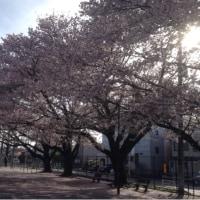 日本人の桜を愛でるこころ