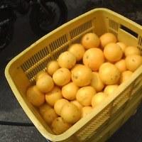 番外編:農業研修 グレープフルーツを収穫する