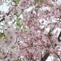 長く楽しんだ桜も終り栃の花芽も伸びてきました。