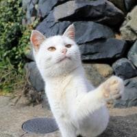 ツバキ咲く島の猫たち 2016年12月 その5