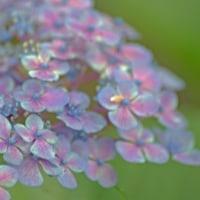 取手・長禅寺の紫陽花