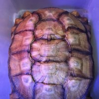 ケヅメリクガメ甲長約35cm