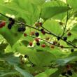 ヤマグワ(山桑)の実が豊作