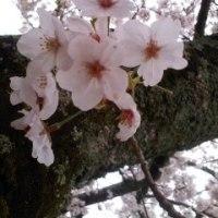 入学式&始業式そしてお花見