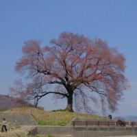 今週末は桜が見頃!