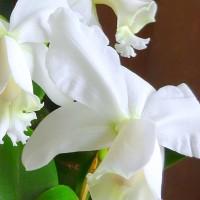 春の足音・・・いつのまにか・・・洋ランの女王・・・カトレアの花が咲いてました