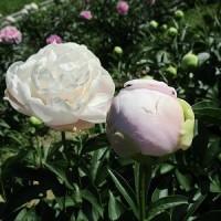 見ごろのシャクヤクの花