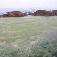 青島近海、繊維状の海藻大量発生。軍隊まで出動。