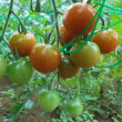 収穫するときの楽しさ~~~趣味の家庭菜園。