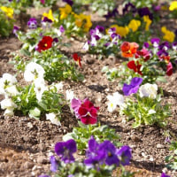 花壇に植え付け