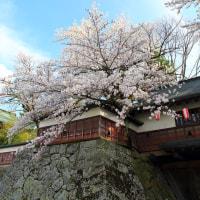 諏訪市桜満開!!