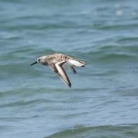 夏羽のミユビシギ 飛翔