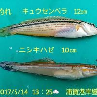 笑転爺の釣行記 5月14日☁ 久里浜・浦賀