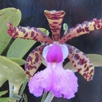 C.aclandiae(×sib)