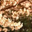 この地もようやく桜の季節!