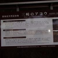 三崎港のアコウ