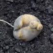 ◆ ジャガイモの収穫
