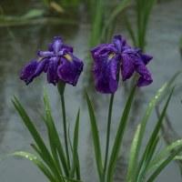 雨の花菖蒲