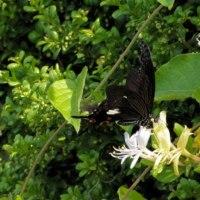 スイカズラの花へやって来たモンキアゲハの動き