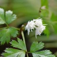 [#3519] 2月,3月に撮った花の写真(2)ネコヤナギ