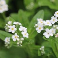 パンセの庭で咲く花 5月18日 サクラソウ ワスレナグサ白
