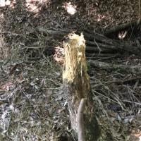 枯木の切株叩き〜1ヶ月の成果〜