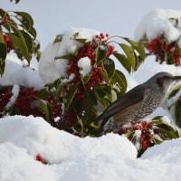 クロガネモチの赤い実に集まる小鳥たち!