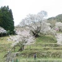 「佛隆寺」の 千年桜 ライトアップ