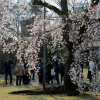 小石川後楽園の しだれ桜・・2