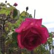 今年もバラが咲きました。