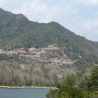 小瀬川ダムからの桜
