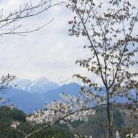山桜を求めて