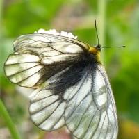 ウスバシロチョウ(薄羽白蝶)