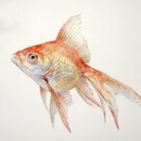 「金魚図」  水彩  B5