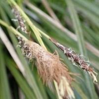 コシノホンモンジスゲの花穂
