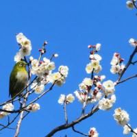 広瀬川辺りの鳥たち、カルガモ、ハクセキレイ、カワラヒワ、ムクドリ、メジロ…