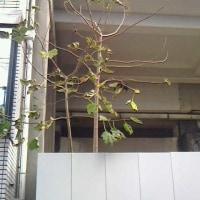 学校の近く、落葉しはじめてました。