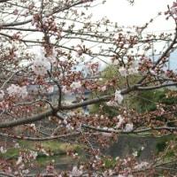 桜はもう少しです