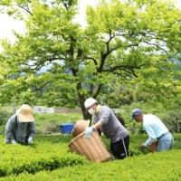 富士山 我が裾野市の最大お茶畑での茶摘み追い