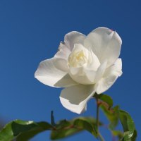大雪の 青空に咲く 残りバラ