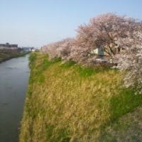 持ちこたえた金沢の桜